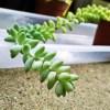 さらば、長く伸びたセダム「新玉つづり」… あの「昇り竜」がついに断髪式!【oyageeの植物観察日記】