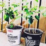 ダイソーのミニ観葉を100均グッズで楽しもう vol.14|300円シルクジャスミンは、あえて小分けにしてモノトーン仕立ての「大人ジャスミン」に!【oyageeの植物観察日記】