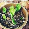 葉挿しで残ってた新芽6株を鉢へ定植し、今年のサンセベリアはこれにて終了! 鉢は茶色に「サンセは秋色」【oyageeの植物観察日記】