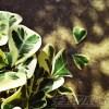 「がんばれブロークンハート!」 フィカス・スイートハートの葉が、これ以上落ちないことを祈るのみ…【oyageeの植物観察日記】