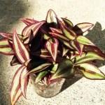 ゼブリナが一夜で真っ黒に! これは寒さが原因… さあ、「ゼブリナを救え!」【oyageeの植物観察日記】