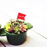 「春」を先取り!カラフルな鉢で多肉の寄せ植え・第6弾!|新入り品種ばかり寄せ集めた鉢はピュアでフレッシュ!「マイ・ピュア・レディ」【oyageeの植物観察日記】