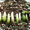 多肉植物のあるある情報!|「葉挿しで、根は出ても芽がまったく出ないこともある」編【oyageeの植物観察日記】