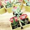 ダイソーで買える、チョイ変わったミニ多肉植物・オススメ10選!|その中で、特に気になるタニク株はこの3つ!【oyageeの植物観察日記】