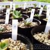 多肉を植え替えるなら、春が絶対にオススメ! これまで作った寄せ植えを一気に植え替えへ!|寄せ植え一掃週間, スタート!【oyageeの植物観察日記】
