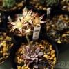 多肉の「銀天女」の花は見応えありますぞ! ついでに、最近育て始めた2品種「黄麗錦」と「エンジェルティアーズ」もご紹介!【oyageeの植物観察日記】