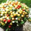 まるでキャンディーか、梅仁丹? すぐにでも食べちゃいたくなるようなかわいさのカラフル「苔サンゴ」に一目惚れ!【oyageeの植物観察日記】
