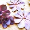 艶やかな紫色した「パープルパール」を一挙量産! いざ、出陣! ─葉挿しの流儀─【oyageeの植物観察日記】