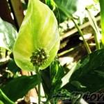 斑入りのスパティフィラムって、花もやっぱり「斑入り」だった !? へぇ~ そうなんだ?【oyageeの植物観察日記】