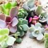 葉挿しでできたおチビちゃん苗は、今回もカラフル揃い! 本日「鉢上げ」しますけど、真夏に大丈夫ですか?【oyageeの植物観察日記】