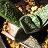 まさに奇跡!! しわくちゃだったガステリアの葉から芽? これが芽だとすれば、ガステリアの葉挿し「初成功」です!【oyageeの植物観察日記】