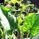 調子が良いクワズイモたち… 元気印は、みんな「ナハナハ」ポーズ!【oyageeの植物観察日記】