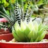 10月は「ハオルチア強化月間」! 硬葉系&軟葉系ハオルチアを続々ご紹介!【oyageeの植物観察日記】