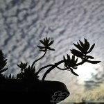 PHOTO ─ 脇役のセダムたちが主役になった日…「脇役的存在多年草とうろこ雲」 ─