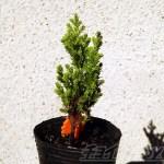 挿し木から577日目を迎えたゴールドクレストの苗木は、果たしてクリスマスツリーになれるのか?【oyageeeの植物観察日記】