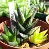 斑入りハオルチアの「良い子、悪い子、普通の子」[五重の塔錦・編]【oyageeの植物観察日記】