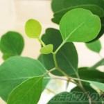ユーカリに Fall in love! 丸い葉が癒されるんだけど、oyageeの前世はコアラだった?【oyageeの植物観察日記】