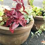 1つ110円のどでかなテラコッタ鉢をGET! さて、何、植える? 今からイメージトレーニングをしてみよう!【oyageeの植物観察日記】