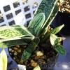 ガステリア、硬葉系ハオルチア、軟葉系ハオルチアのあのBabyたちの今!「意外と育ったりするもんなんですね…」【oyageeの植物観察日記】