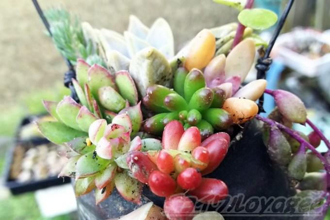 """またやっちゃいました? 多肉の寄せ植えが粉砕して気づく、「真っ赤に色づく""""虹の玉""""は、結構重要なポジションだった!?」【oyageeの植物観察日記】"""