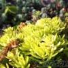 冬でも元気なセダムは、要注意多年草だ! 蔓延るだけ蔓延る、知らずに増える、この3品種には気を付けろ!【oyageeの植物観察日記】