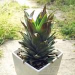 「生パイナップルを観葉植物に!」 植え方は? 育て方は? 1つだけ注意すれば、あとは意外と簡単なんです!【oyageeの植物観察日記】