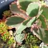 存在感がなかった、カランコエの胡蝶の舞錦… 気づけば、一番の存在感に! 「いやいや、君! でかくなりすぎです!!」【oyageeの植物観察日記】