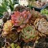 「アルジャーノンに花束を」、もとい、「アロエオヤジに寄せ植えを」 おやっさんの願いを叶えてあげよう!【oyageeの植物観察日記】