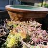 アロエのおやっさんが、またまたヘンなものを持ってきた! 鉢穴のないメダカ鉢のような器に、あれを植えて欲しいですって!?【oyageeの植物観察日記】
