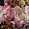 「これ、似てるね!?」シリーズ|「チワワリンゼ」「ルビーブラッシュ」「水密桃」「桃太郎」は、同じもの? 違うもの?【oyageeの植物観察日記】