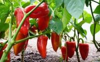 , Paprika, Pěstování Papriky, Sazenice Papriky