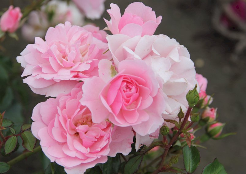 Самые неприхотливые и зимостойкие розы: рекомендации по выбору сорта для разных регионов. Какой сорт роз лучше для вашего сада – хит-парад неприхотливых красавиц