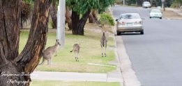 Kangaroos in the streets.