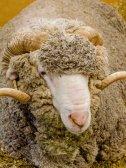 It's a Merino ram