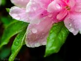 Water on the Azalea