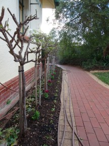 Kitchen Wall Rose Bed - 9 June 2016