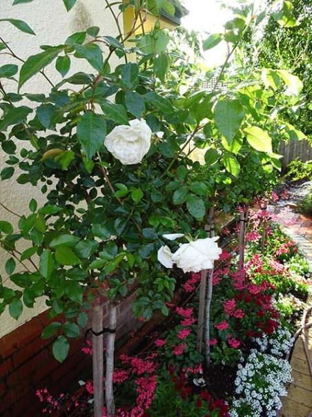 Kitchen Wall Rose Bed - 22 September 2016 -3