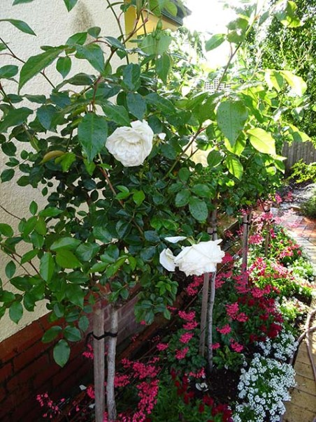 Kitchen Wall Rose Bed - 22 September 2016 -3