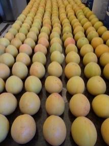 Apricots 1