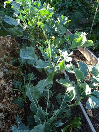 Brassicas - looking a bit mottly