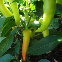 Capsicum - Long Sweet Yellow