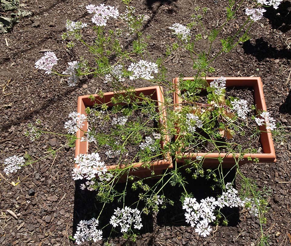 Coriander flowers - Seed Saving