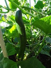 Cucumber - Continental