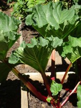 Rhubarb from Navarre