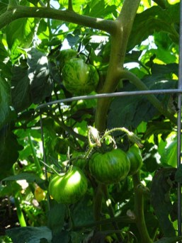 Tomatoes - Green Tiger