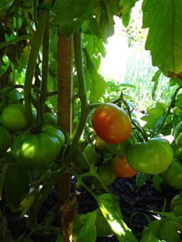 Tomatoes - Rouge de Marmande