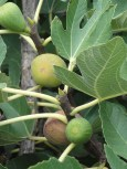 Figs still on the tree - still ripening...