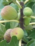 Figs still on the tree - still ripening...