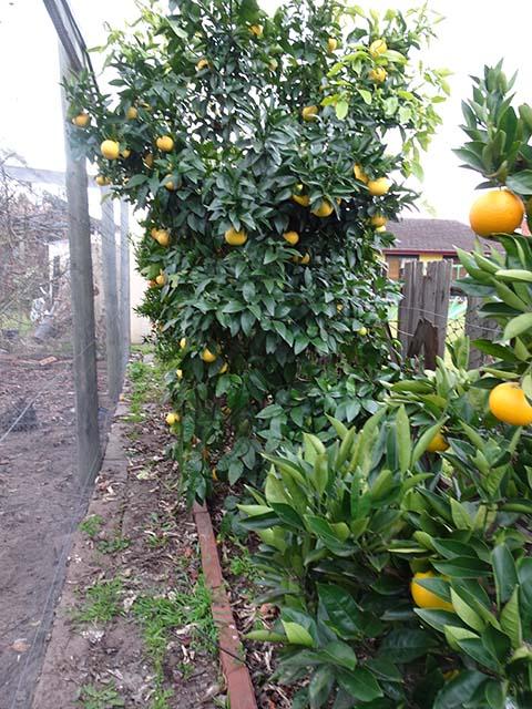 Maggie's citrus garden