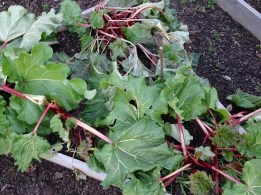 Rhubarb - flattened by the frost - 6 July 17